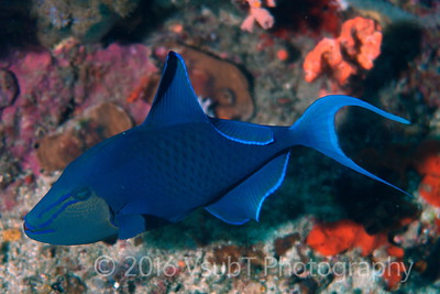 Red Toothed Triggerfish