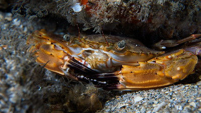 Crab-05