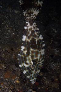 Filefish-05