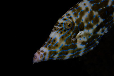 Filefish-01