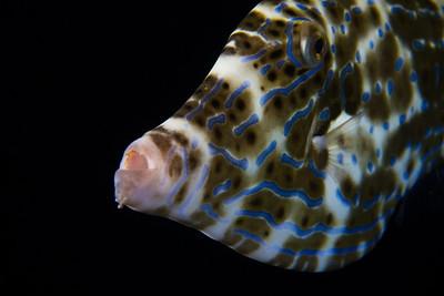 Filefish-03