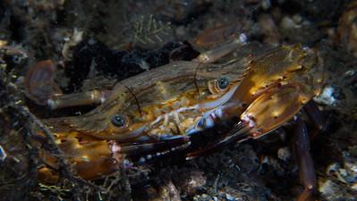 Crab-06