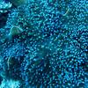 Beautiful golden anemone fish