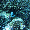Puffer at coral garden