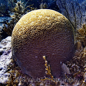 brain coral off Key Largo, FL