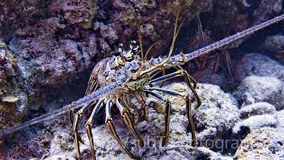 spiny lobster off Key Largo, FL