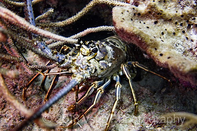 spiny lobster off West Palm Beach, FL