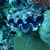 Giant clam at Ulong Sandbar