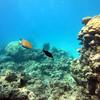 Bright parrotfish