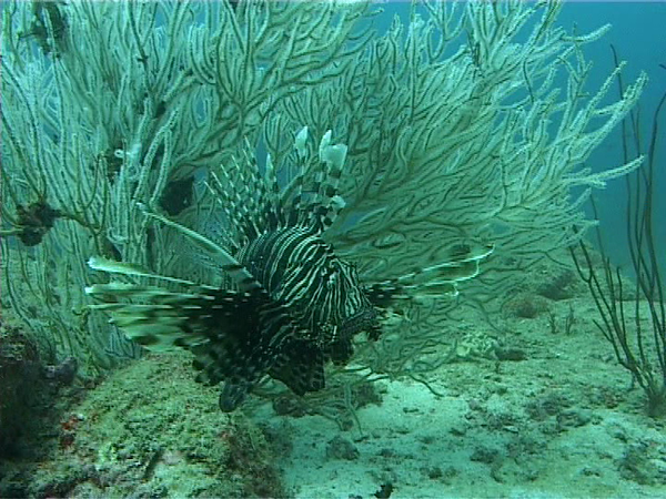 Lionfish. Lots of these