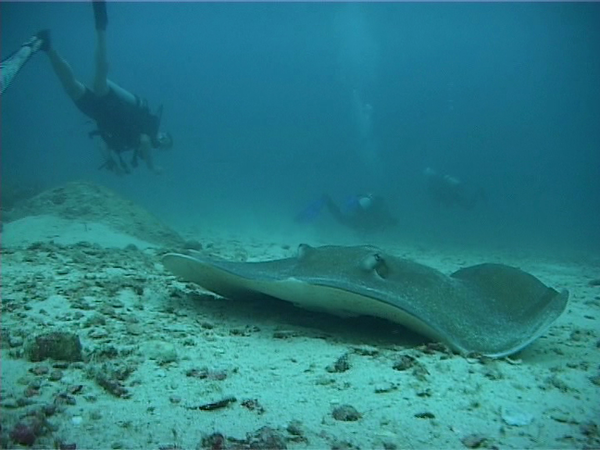 Big ray from our first dive