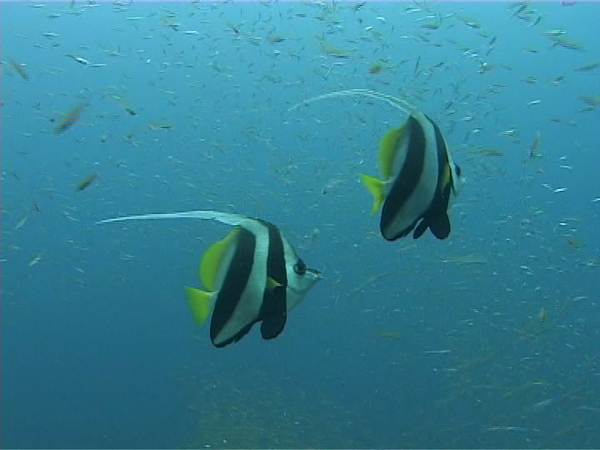 Moorish Idols. These guys are pretty much everywhere, but are still really cool.