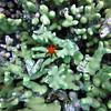 A six legged starfish
