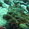 Two stonefish. They're poisonous, and unfortunately very hard to see.