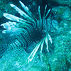 A lionfish. These are an unwelcome, invasive species