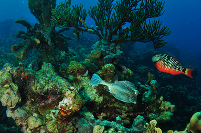 Parrot FIsh and Cow Fish