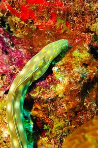 Sharp Tail Eel