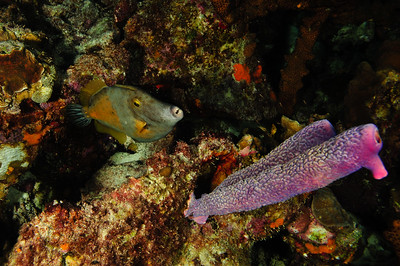 Triggerfish and Purple Tube Sponge