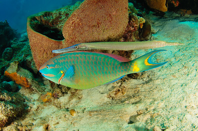 Parrot Fish and Trumpet Fish