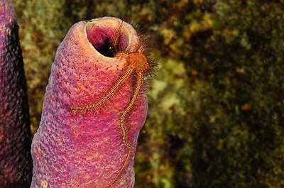 Brittle Starfish on Purple Tube Sponge