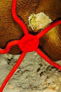 Red Brittle Starfish