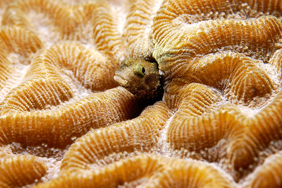 Blenny in Brain Coral