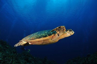 Turtle in flight