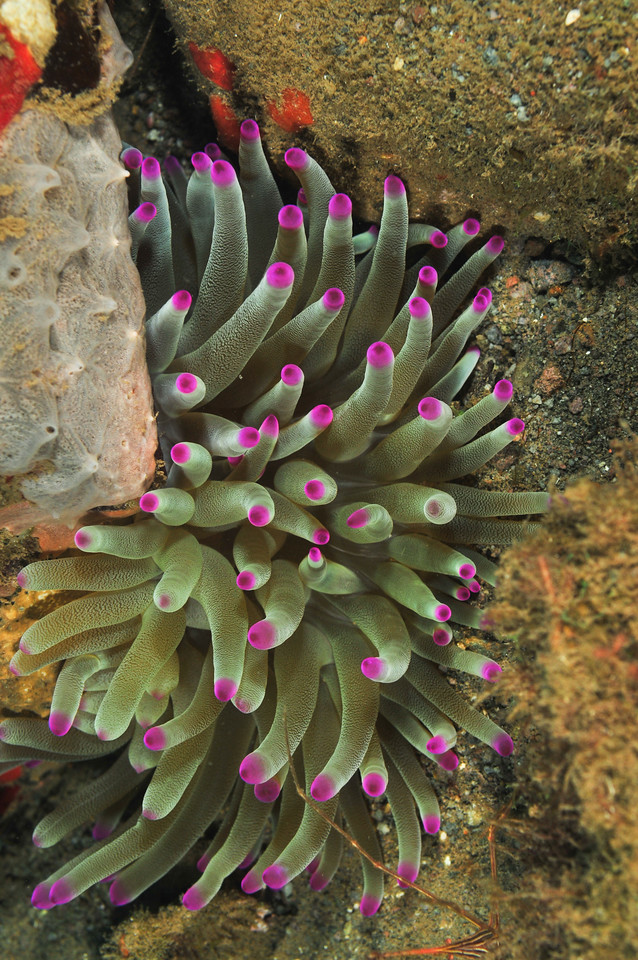 Purple Tipped anemone