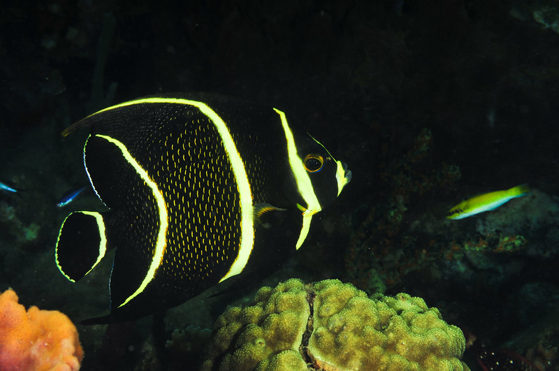 juvenile french angelfish