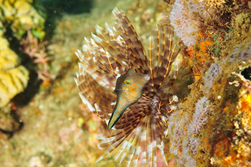 Sharped Nosed Puffer Fish