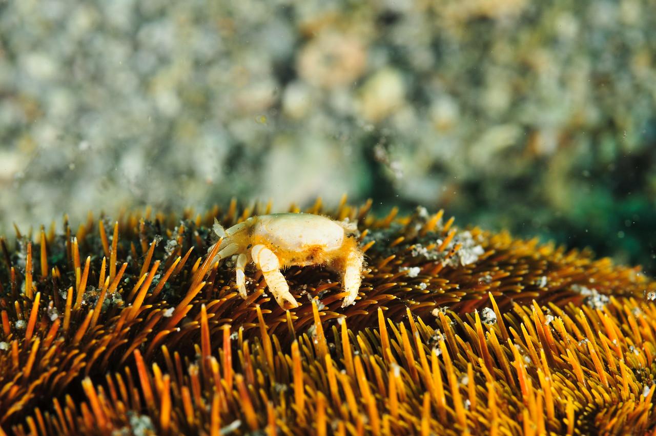 Heart Urchin Pea Crab