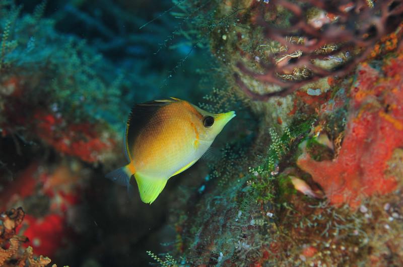 Caribbean Longsnout Butterflyfish