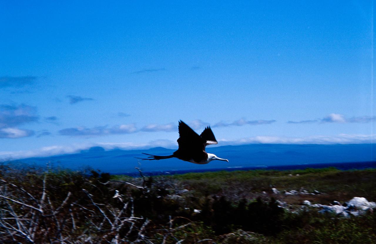 Galapagos Frigate