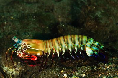 Peacockk Mantis Shrimp