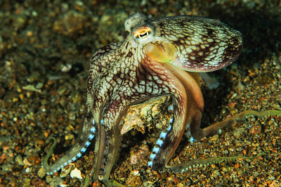 Octopus Carrying a Shell.