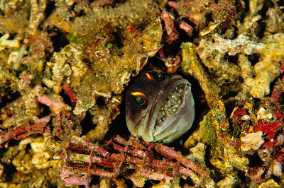 Jawfish with eggs in mouth