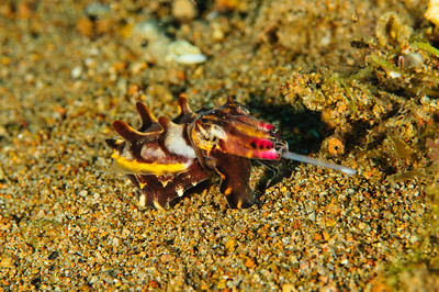 Flambouant Cuttlefish