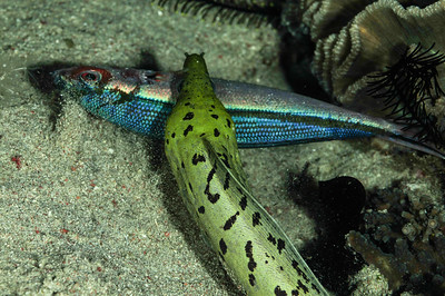 Moray Eel Catching Dinner