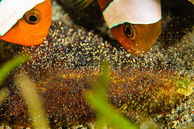 Anemonefish and Eggs