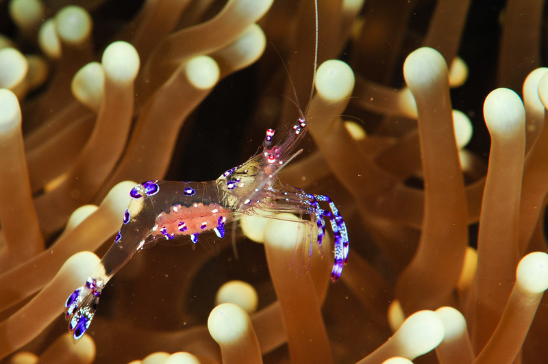 Pederson Cleaner Shrimp With Eggs