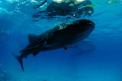 Whaleshark at Oslob Philippines