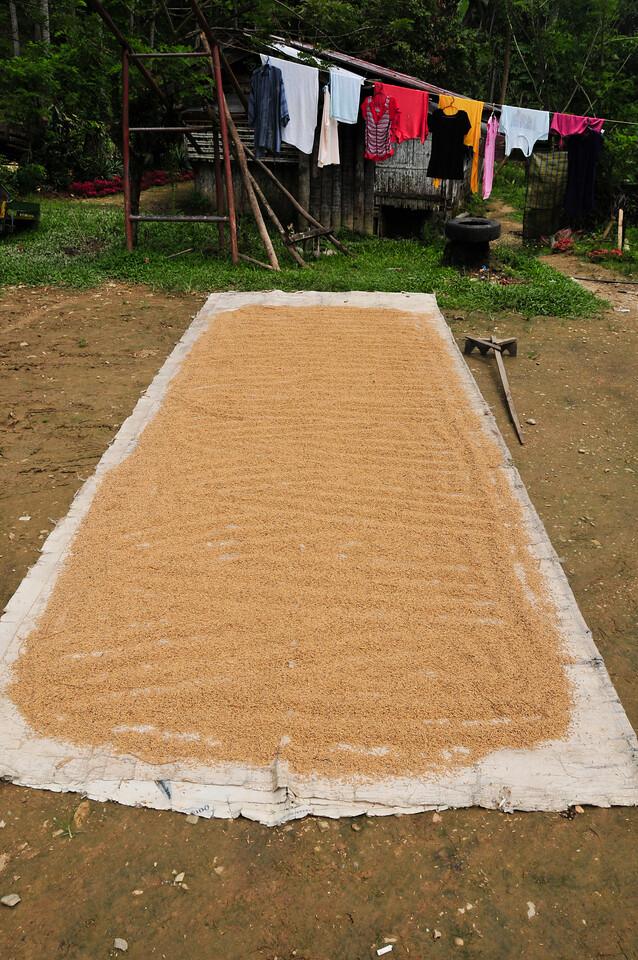 Rice drying in the sun