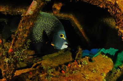 Frech Anglefish