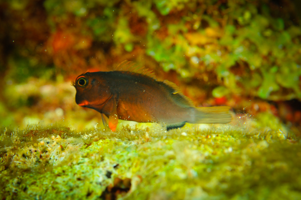 Red Lipped Blenny