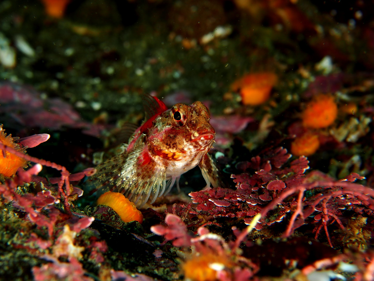 Softfin Sculpin
