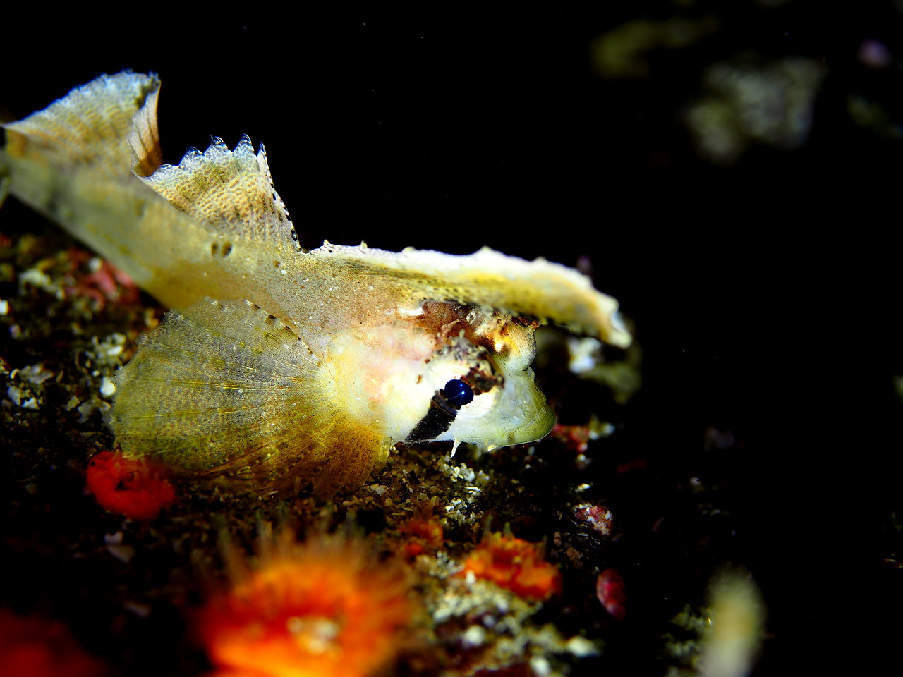 Sailfin Sculpin