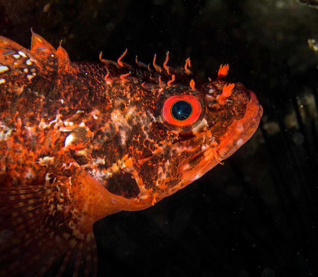 Rainbow Scorpionfish (Scorpaenodes xyris)