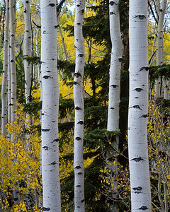 The eyes have it; aspen trees near Boulder, Utah