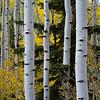 The eyes have it; aspen trees near Boulder, Utah