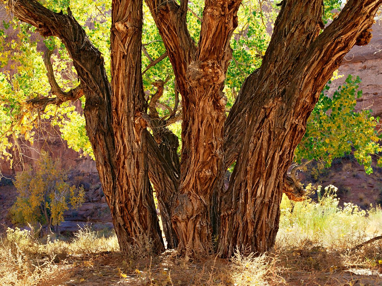 Cottonwood Tree, Poison Creek Canyon, Utah